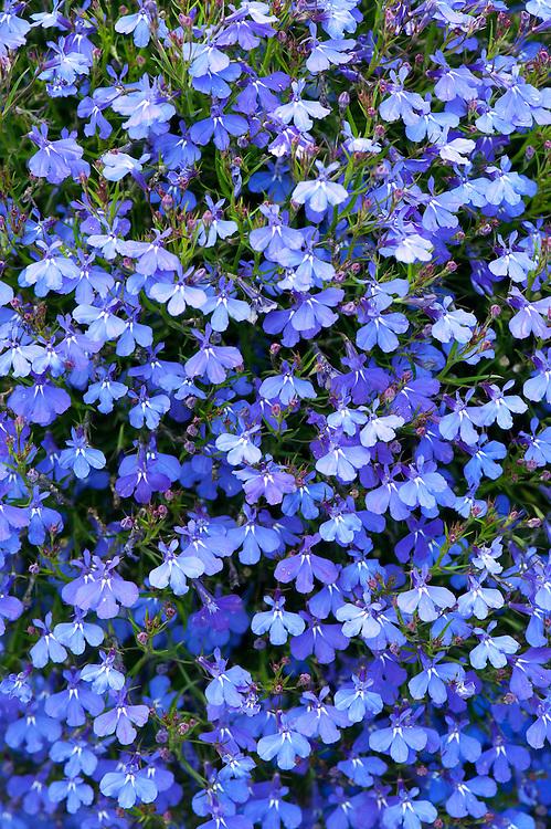 Lobelia Erinus Waterfall Blue Alan Buckingham