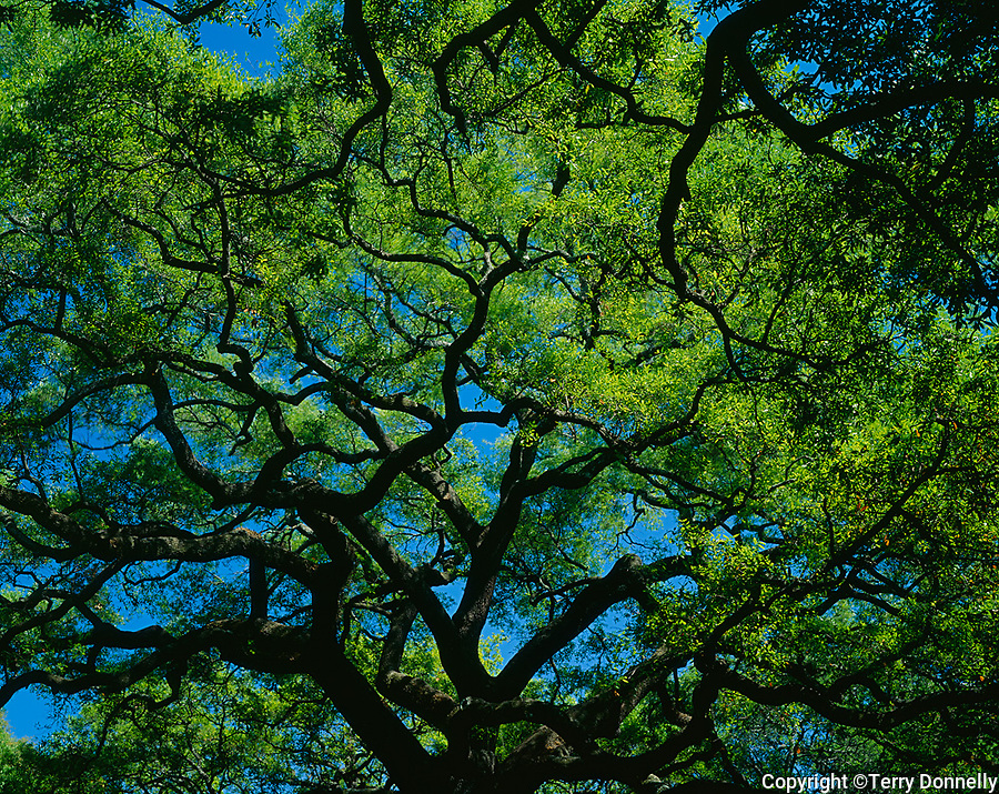 Savanna, GA<br /> Spreading canopy of Live Oak (Qurecus virginiana) in Reynolds Square city park