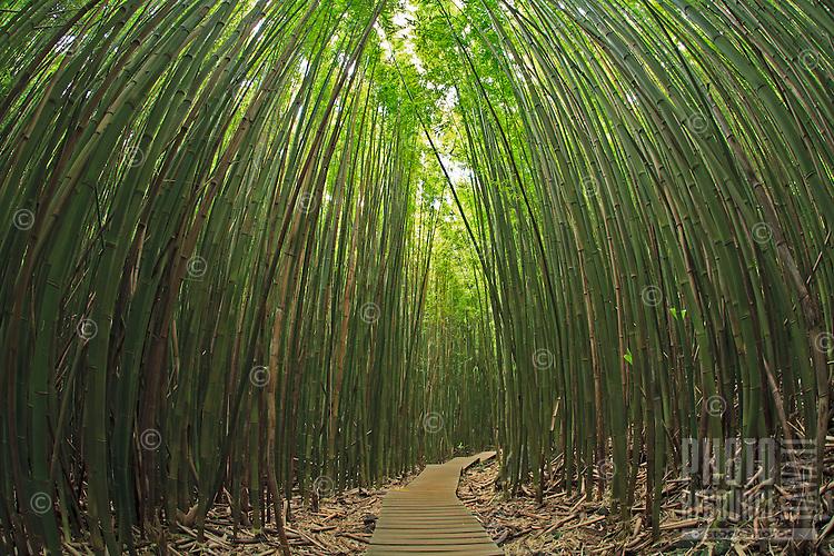 Walkway through the bamboo forest in Kipahulu, Maui, Hawaii in Haleakala National Park.
