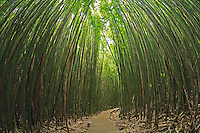 Walkway through the bamboo forest in Kipahulu, Maui, Hawaii in Haleakala National Park.