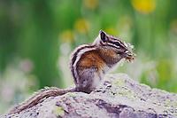 Least Chipmunk, Tamias minimus, adult eating wildflowers,Ouray, San Juan Mountains, Rocky Mountains, Colorado, USA