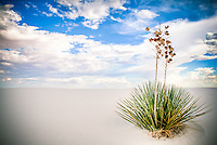 Lone Yucca - White Sands National Monument - New Mexico
