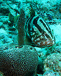 """A Nassau Grouper watches the dive group pass.  """"Aldo's Anchor"""" Dive Site, Turneffe Atoll, Belize."""