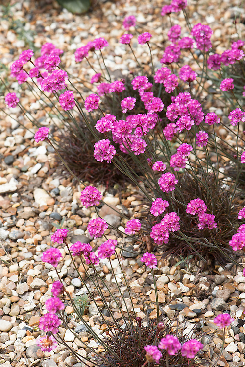 Armeria maritima 'Rubrifolia', late May.  Commonly known as Sea thrift or Sea pink, a compact, evergreen perennial forming a neat tuft of rich, dark bronze grass-like foliage, which turns deep red in winter, and a cluster of pink flower globes on wiry stems in spring and early summer.