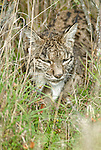 Wild Iberian Lynx walking through tall grass