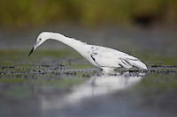 Little Blue Heron (Egretta caerulea), immature, Sinton, Corpus Christi, Coastal Bend, Texas, USA