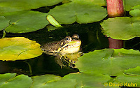 0612-0901  Northern Green Frog in Pond, Lithobates clamitans, formerly Rana clamitans  © David Kuhn/Dwight Kuhn Photography