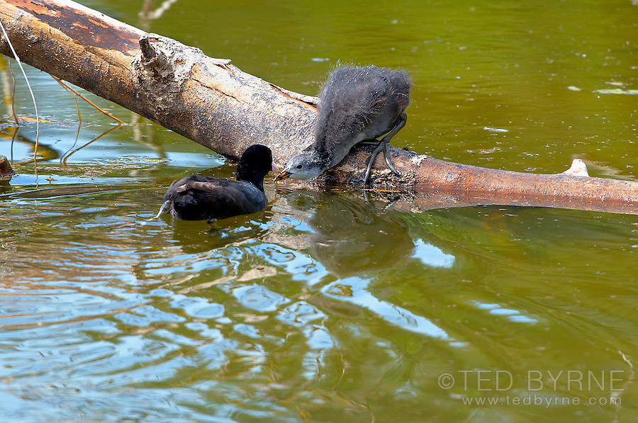 Baby Coot waiting for mommy