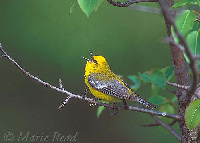 Blue-winged Warbler (Vermivora pinus) male singing in spring, New York, USASlide # B161-617
