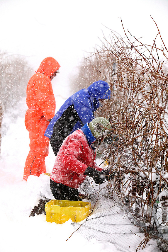 Ice wine harvest in winter