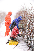 Ice wine harvest in winter