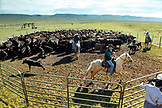 USA, Wyoming, Encampment, cowboys rope and drag calves out or a corral to be branded, Big Creek Ranch