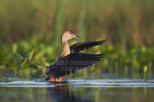 Fulvous Whistling-Duck (Dendrocygna bicolor), adult, Sinton, Corpus Christi, Coastal Bend, Texas, USA