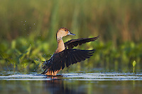 Fulvous Whistling-Duck (Dendrocygna bicolor), adult, Sinton, Corpus Christi, Coastal Bend, Texas, USA