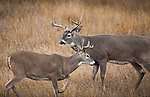 Whitetail bucks in pre-rut posturing in Montana