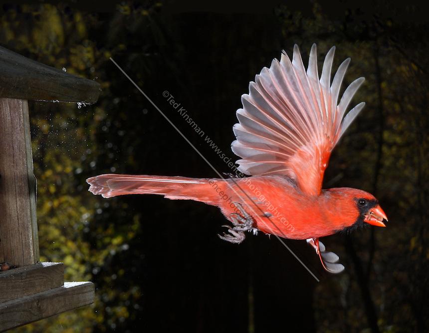 Male Northern Cardinal (Cardinalis cardinalis) in flight.
