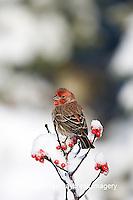 01643-014.05 House Finch (Carpodacus mexicanus) male on Common Winterberry (Ilex verticillata) in winter, Marion Co. IL