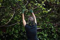 A woman works in a community garden organized to produce organic food at Brooklyn in New York,  May 10, 2013, Photo by Eduardo Munoz Alvarez / VIEWpress.