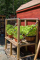 Deer protection of vegetables, herbs, nasturtium flowers container garden in pots with screening in raised mesh cage against potting shed red barn, watering hose irrigation