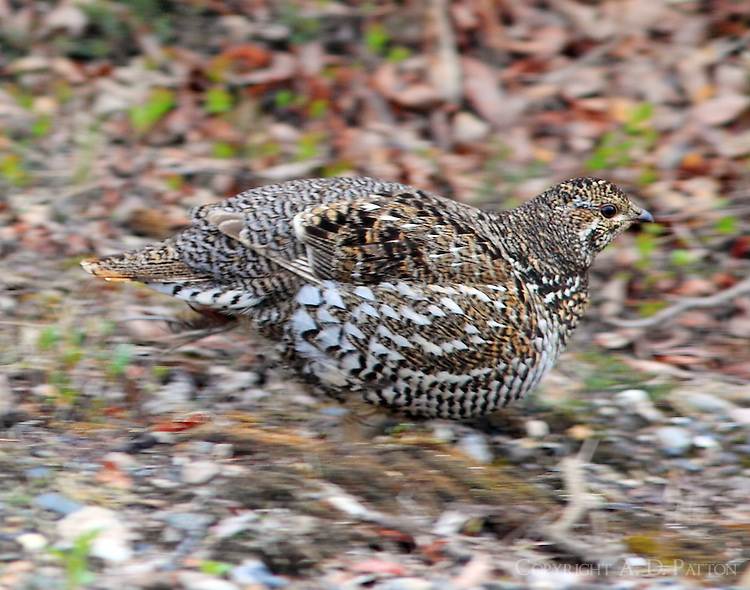 Female spruce grouse, taiga type, in June