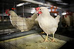 "A chicken uses a scratching pad, one of the new features of J.S. West's $3.2 million ""enriched colony system"" in Atwater, California,  August 11, 2010. California's Proposition 2, passed in 2008, requires that egg-laying hens in California be able to fully extend their limbs, lie down and turn in a circle within their enclosures. .CREDIT: Max Whittaker for The Wall Street Journal.EGGS"