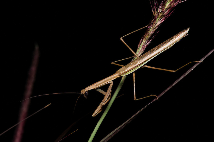 Praying mantis at night in the Xishuangbanna Tropical Botanic Gardens