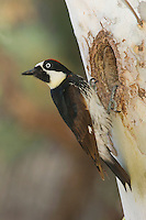 Acorn Woodpecker, Melanerpes formicivorus, male at nesting cavity in sycamore tree, Madera Canyon, Arizona, USA, May 2005