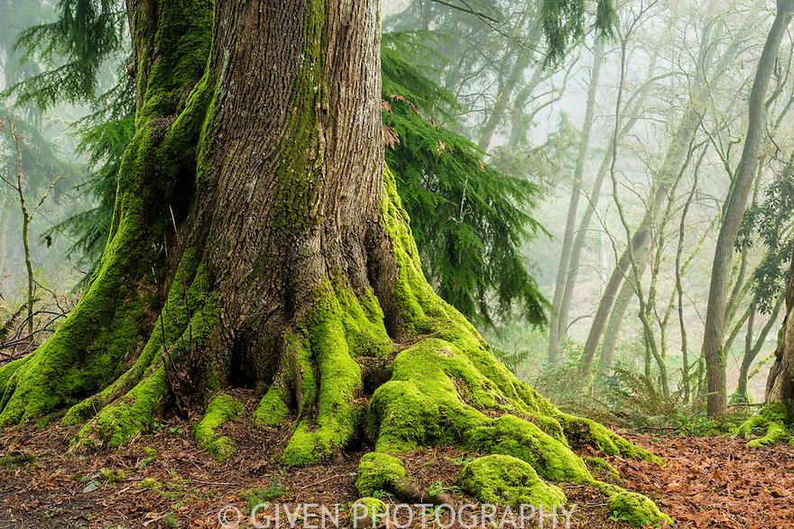 Bigleaf Maple, Seattle, Washington