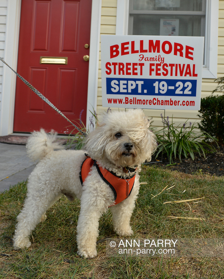Bellmore, New York, U.S. 22nd September 2013. Pierre Genuth, a 5-year-old white Toy Poodle from Plainview, has wind blowing his fur during his visit to the Bellmore Chamber of Commerce office front yard with his family, at the 27th Annual Bellmore Family Street Festival, featuring family fun with exhibits and attractions in a 25 square block area, with over 120,000 people expected to attend over the weekend.