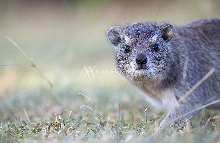 The hyrax is the closest living relative of the elephant.