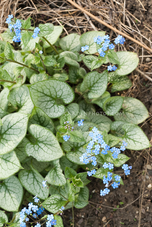 brunnera macrophylla 39 jack frost 39 in bloom plant. Black Bedroom Furniture Sets. Home Design Ideas