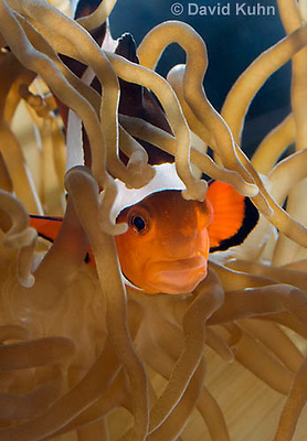 0321-1130  False Percula Clownfish (Ocellaris Clownfish), Amphiprion ocellaris, with Bulb-tipped Anemone, Entacmaea quadricolor  © David Kuhn/Dwight Kuhn Photography
