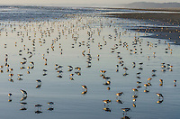 Shorebirds--mostly dunlins and western sandpipers--feed along Pacific Ocean.  Spring migration, Pacific Northwest.  April.