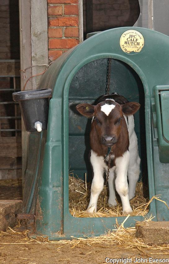 Dairy calf in hutch.