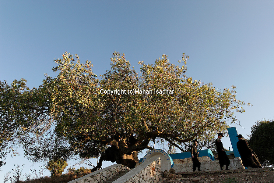Israel, the Upper Galilee. Atlantic Pistachio (Pistacia Atlantica) tree by the tomb of Rabbi Tarfon in Kadita<br />