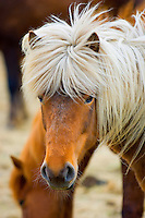 Icelandic horse in various locations