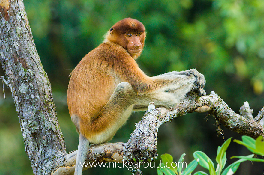 Young male Proboscis Monkey (Nasalis larvatus) resting in mangroves. Bako National Park, Sarawak, Borneo.