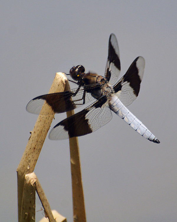 A Common Whitetail Skimmer male perches on the top of a bent stock in a pond at the Pine Hollow Arboretum. His colloring shows well against a clear gray sky.