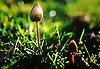 Psilocybin mushrooms, also known as psychedelic mushrooms, are mushrooms that contain the psychedelic drugs psilocybin and psilocin. Common colloquial terms include magic mushrooms and 'shrooms.<br />