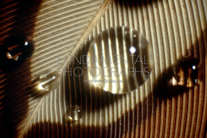 MAGNIFICATION BY WATER DROP ON FEATHER<br /> Aquatic bird feather<br /> Strong hydrogen bonds give water a high cohesiveness and, consequently, surface tension.