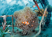 Clownfish in their anemone on a metal structure, part of the Biorock reef project in Pemuteran.  ..A low voltage direct current is applied on metal structures using an anode. Once the reef structure is in place and minerals begin to coat the surface, the next phase of reef construction begins. Divers transplant coral fragments from other reefs . Immediately, these coral pieces begin to bond to the accreted mineral substrate and start to grow—typically three to five times faster than normal. Soon other marine life starts colonizing the structure as well...Some say the effort is severely limited. While the method may be useful in bringing small areas of damaged coral back to life, it has very limited application in vast areas that need protection.