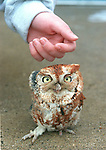 BYFIELD-- a Screech Owl named Santa is being treated at Triton Regional High School for singed feathers and a missing right ear. 2/15/96.RESTRICTED USE..NOT FOR REPBULICATION WITHOUT EXPLICIT APPROVAL FROM DIRECTOR OF PHOTOGRAPHY