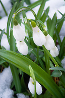 Galanthus snowdrops in winter snow flower need id