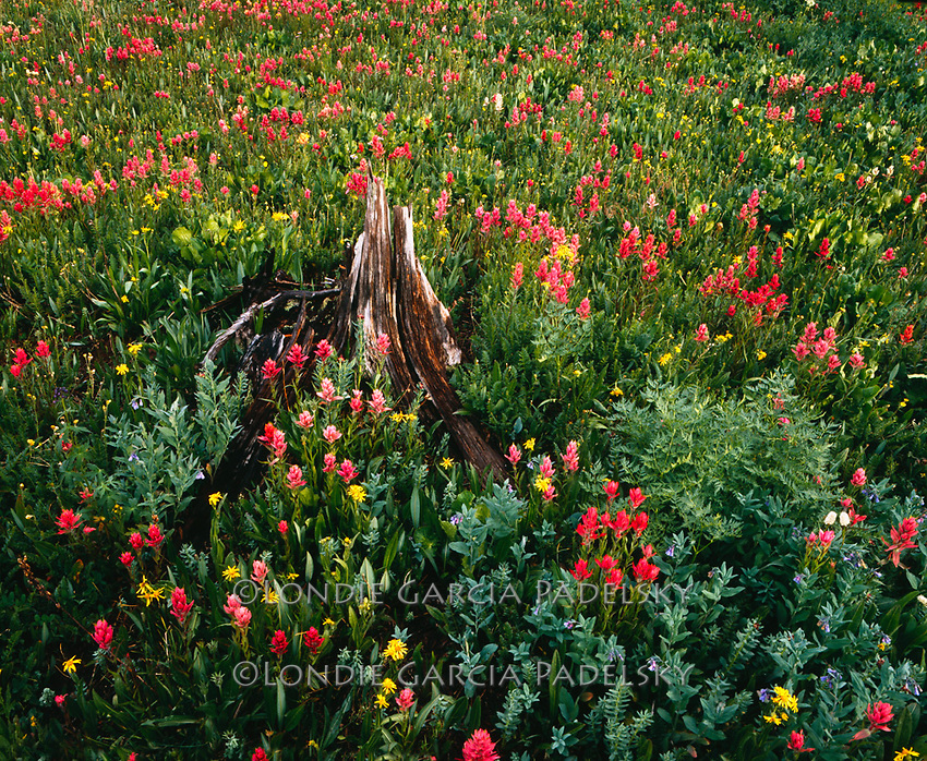 Wildflowers, in the San Juan National Forest, Colorado