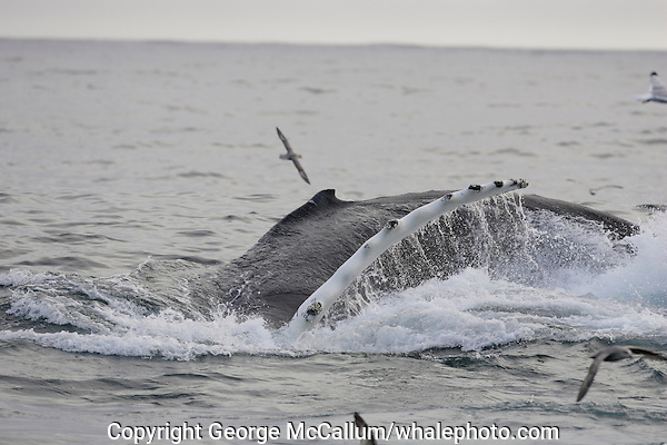 Megaptera novaeangliae Humpback whale lunge feeding on Capelin and krill near Spitzbergen Arctic Norway