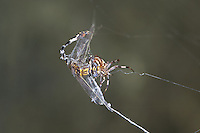 389030006 a wild male gray sanddragon progomphus borealis is trapped in an orb weaver possibly neoscona web  near a small hot springs in inyo county california