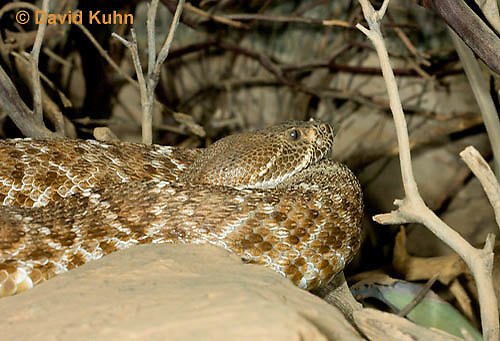 0420-1001  Red Diamond Rattlesnake (Red Rattler), Southwest California, Crotalus ruber ruber  © David Kuhn/Dwight Kuhn Photography.