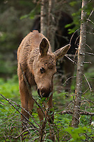 A moose calf at Isle Royale Nationa Park.