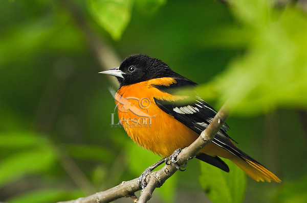 Baltimore Oriole (Icterus galbula) male in breeding plumage rests in mixed forest along Lake Erie shoreline near Canada and USA border during annual spring migration.