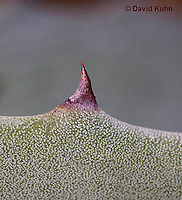 1201-0813  Detail of Thorns, Agave kerchovei © David Kuhn/Dwight Kuhn Photography